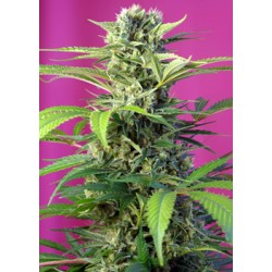 ChemBeyondDieselCBD-SweetSeeds-ElCultivar-growshop.jpg