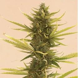 AutoBlackBanana-MrHide-ElCultivar-growshop
