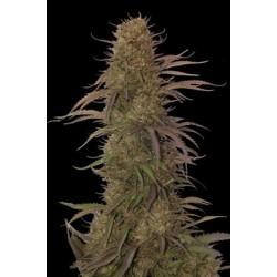 AutoCreamMass-MrHide-ElCultivar-growshop