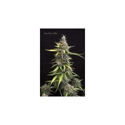AutoMazarBlue-MrHide-ElCultivar-growshop.jpg
