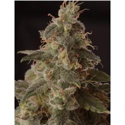 FullMoonCBD-MrHide-ElCultivar-growshop