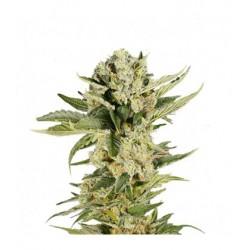 Mr420k-MrHide-ElCultivar-growshop