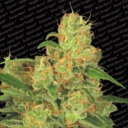 AutoAcid-ParadiseSeeds-ElCultivar-growshop