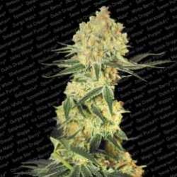 Autowappa-Paradise-ElCultivar-growshop.jpg