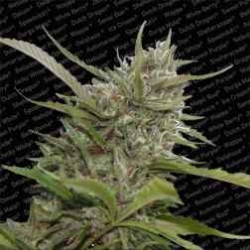 AutoWhiteberry-Paradise-ElCultivar-growshop.jpg
