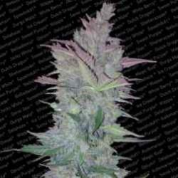 VertigoAuto-Paradise-ElCultivar-growshop