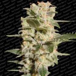 Belladonna-ParadiseSeeds-ElCultivar-growshop