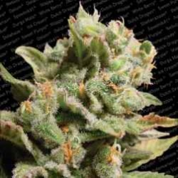 DutchDragon-ParadiseSeeds-ElCultivar-growshop