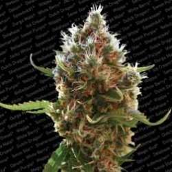 LucidBolt-ParadiseSeeds-ElCultivar-growshop