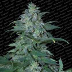 MagicBud-ParadiseSeeds-ElCultivar-growshop
