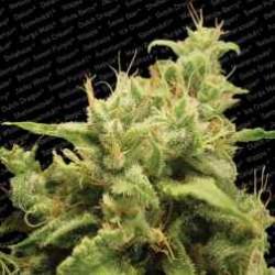 Opium-ParadiseSeeds-ElCultivar-growshop