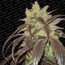 Spoetnik1-ParadiseSeeds-ElCultivar-growshop