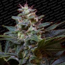 SweetPurple-ParadiseSeeds-ElCultivar-growshop
