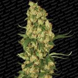 Wappa-ParadiseSeeds-ElCultivar-growshop