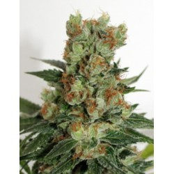 FuelOGRegular-RipperSeeds-Elcultivar-growshop.jpg