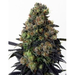 AcidDough-RipperSeeds-ElCultivar-growshop.jpg