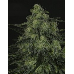 BlackValley-RipperSeeds-ElCultivar-growshop.jpg