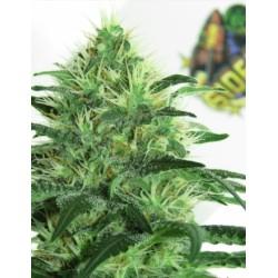 Sideral-RipperSeeds-ElCultivar-growshop
