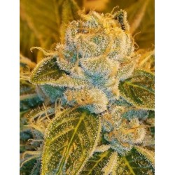 SourRipper-RipperSeeds-ElCultivar-growshop