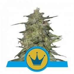 RoyalHighnessCBD-RoyalQueenSeeds-ElCultivar-growshop.jpg