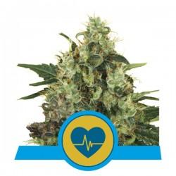 MedicalMass-RoyalQueenSeeds-ElCultivar-growshop.jpg