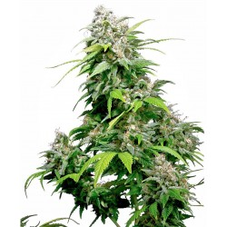 CaliforniaIndica-SensiSeeds-ElCultivar-growshop.jpg