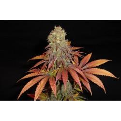Rockbud(SomaA+)-SomasSacred-ElCultivar-growshop.jpg
