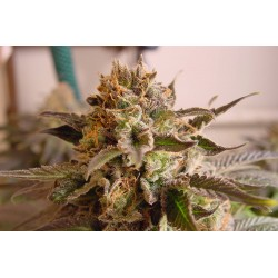 SoGKush-SomasSacred-Elcultivar-growshop.jpg