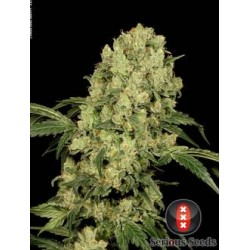 AK47-Regular-SeriousSeeds-ElCultivar-growshop.jpg