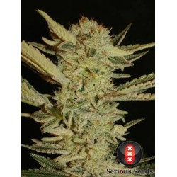 BubbleGum-Regular-SeriousSeeds-elcultivar-growshop.jpg