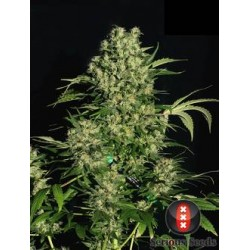 Chronic-Regular-SeriousSeeds-elcultivar-growshop.jpg