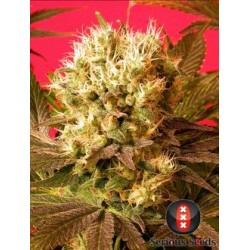 Motavation-Regular-SeriousSeeds-ElCultivar-growshop.jpg