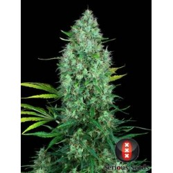 Serious6-Regular-SeriousSeeds-ElCultivar-growshop.jpg