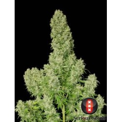 WhiteRussian-Regular-SeriousSeeds-ElCultivar-growshop.jpg