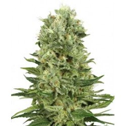 SkunkAuto-WhiteLabelSeed-ElCultivar-growshop.jpg