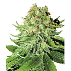 NorthernLightsAuto-WhiteLabelSeed-ElCultivar-growshop.jpg