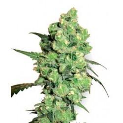 SuperSkunk-Regular-WhiteLabelSeed-ElCultivar-growshop.jpg