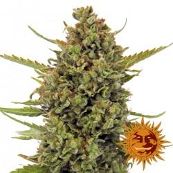 AcapulcoGold-BarneysFarm-ElCultivar growshop