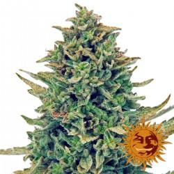CBDBlueShark-BarneysFarm-Elcultivar-growshop.jpg