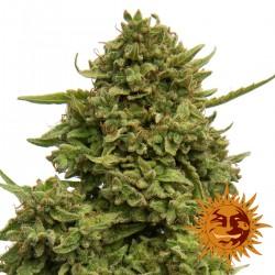 PineappleChunk-BarneysFarm-ElCultivar-growshop