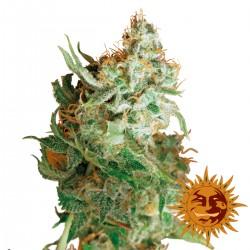 RedDragon-BarneysFarm-ElCultivar-growshop