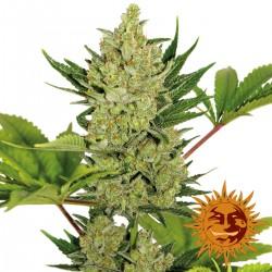BlueCheeseAuto-BarneysFarm-ElCultivar-growshop