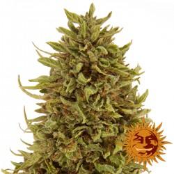PineappleExpressAuto-BarneysFarm-ElCultivar-growshop