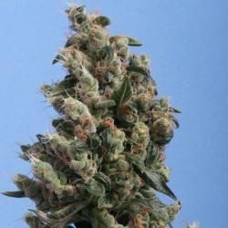 Kushage-THSeeds-ElCultivar-growshop.jpg
