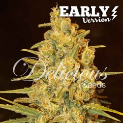 CriticalSensiStar-EarlyVersion-Delicous-Elcultivar-growshop.jpg
