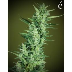 Élite47Auto-ElCultivarGrowshop